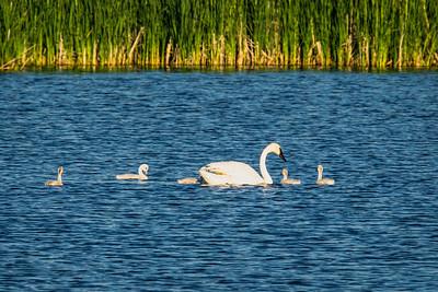 Trumpeeter Swan, Cygnus buccinator