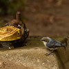 California Towhee and and Pygmy Nuthatch