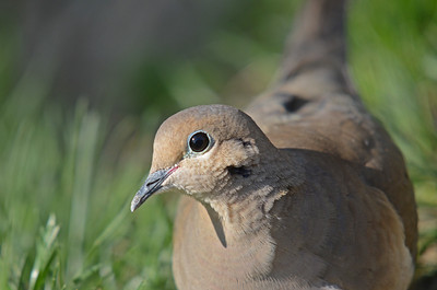 Mourning Dove in the Sun