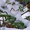 Pacific Wren ~ Troglodytes pacificus