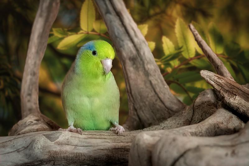 Parrotlet Paradise