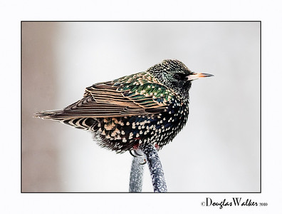 European Starling (Sturnus Vulgaris) Winter
