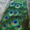 Pavo cristatus –Peacock tail feathers 3