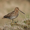 Common snipe / Hrossagaukur (Gallinago gallinago)