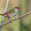 Red-browed Finch, Schuster Park, Tallebudgera, Gold Coast.