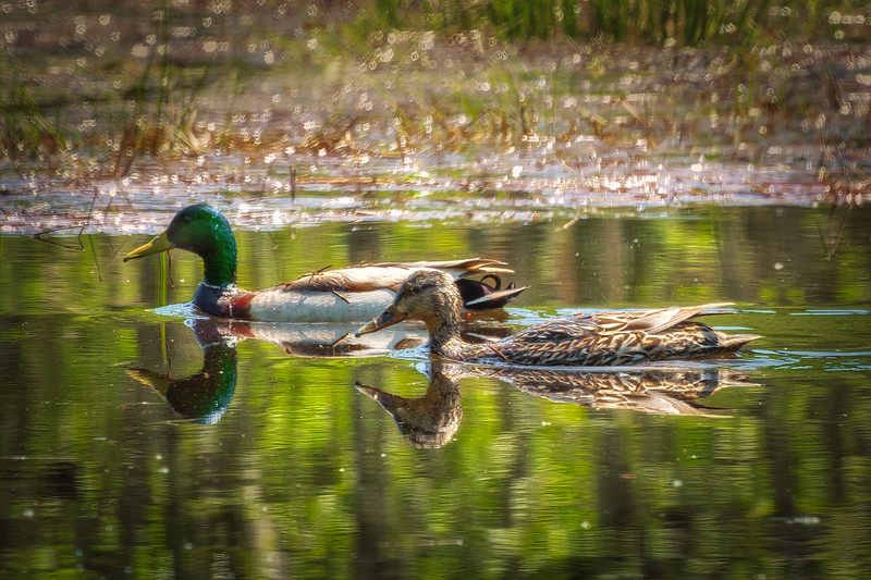 Reflections of Two Mallards