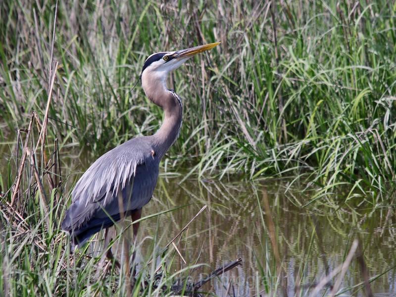 Great Blue Heron Ardea herodias May 2013; Bombay Hook Wildlife Refuge, DE