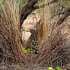 Western Bowerbird at Bower