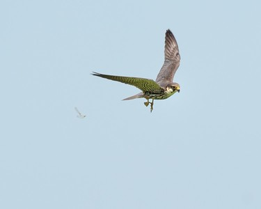 A Hobby catches dragonfly and disgards its wings