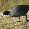 American Coot - Albro Lake, Dartmouth, Nova Scotia