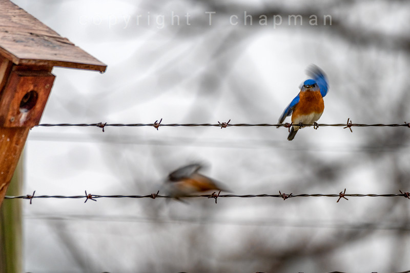 Bluebird on wire blurred