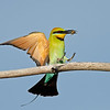 Rainbow Bee-eater, The Spit, Qld.