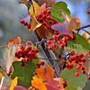 Turdus migratorius – American robin 11