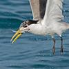 Tern catching Breakfast