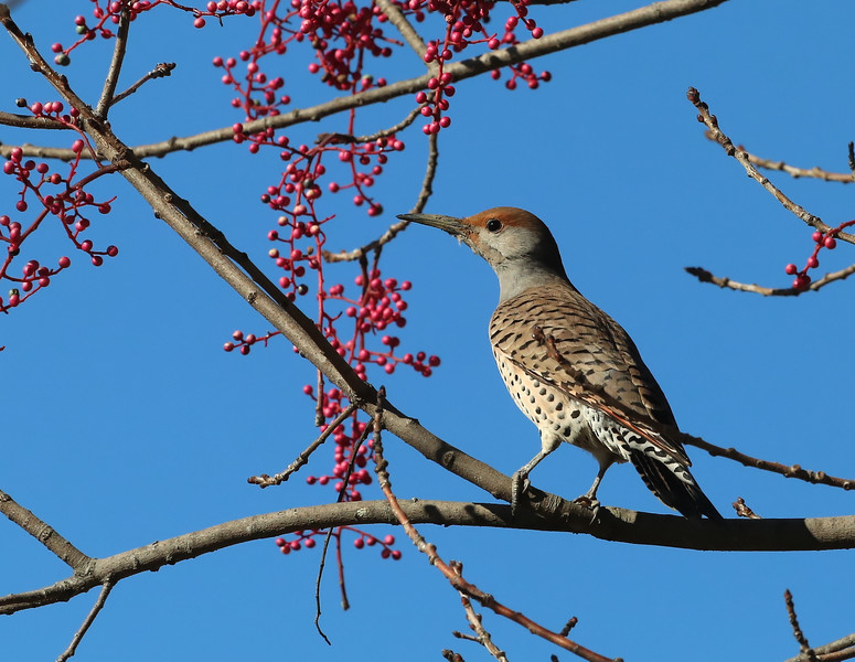 Colaptes auratus | Northern flicker | Goldspecht