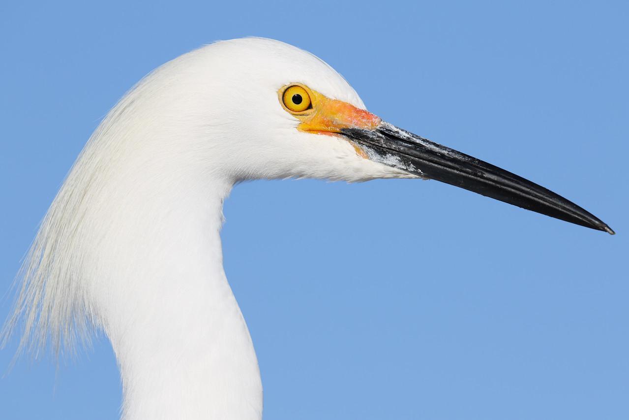 Snowy Egret Headshot