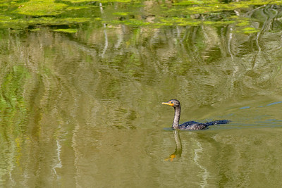 Double-Crested Cormorant and Reflections