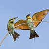 Rainbow Bee-eater with Cicadas, Federation Walk, Gold Coast, Queensland.