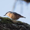 Nuthatch at Bowdown Woods 3