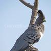 Corythaixoides leucogaster – White Bellied Go-Away Bird 2