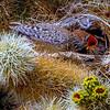 Cactus Wren at Nest