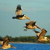 Brown Pelicans in flight.