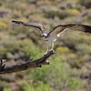 Pandion haliaetus   Osprey   Fischadler
