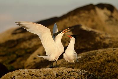 Elegant Terns in a mating dance, Baja CA.