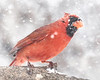Male  Cardinal in a Minnesota snow storm