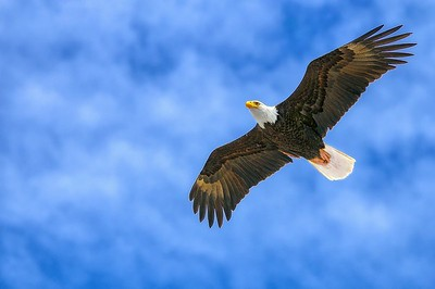 Bald Eagle Flying Proud