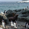 Gento Penguins, Chinstrap Penguins,Sea Lions and Skuas on an Island in Antarctica,