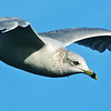 Ringed - billed Gull in flight.