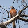 Turdus migratorius – American robin 6