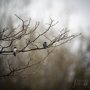 Tree Swallows at Riverbend Park
