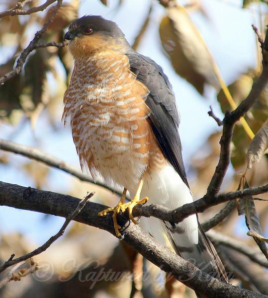 Puffy Hawk