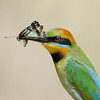 Rainbow Bee-eater with Butterfly, Federation Walk, Gold Coast, Queensland.