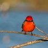 Vermilion Flycatcher.
