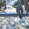 Northern Flicker—Year-Round Resident