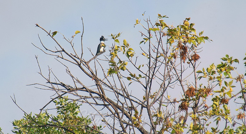 Belted Kingfisher In The Tree Top