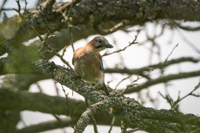 Jay through branches at Speen