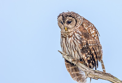 Barred owl keeping a lookout for snacks