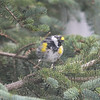 Yelllow-rumped Warbler
