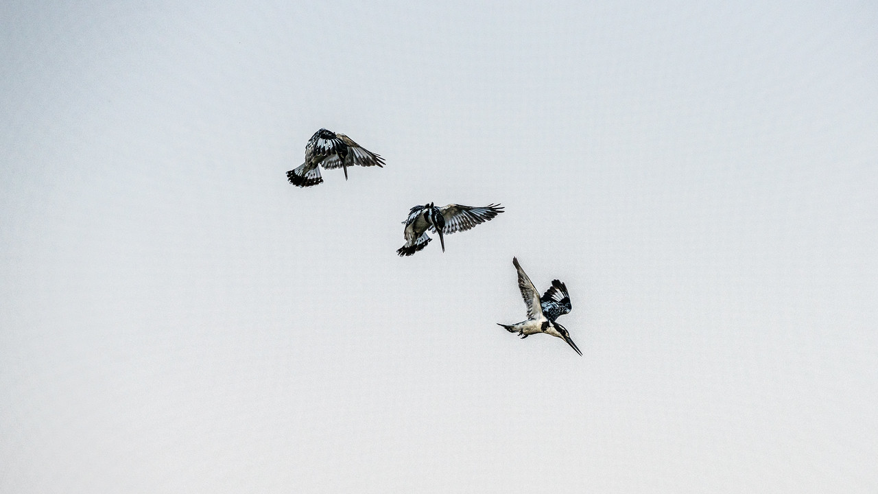 Pied Kingfisher Ballet