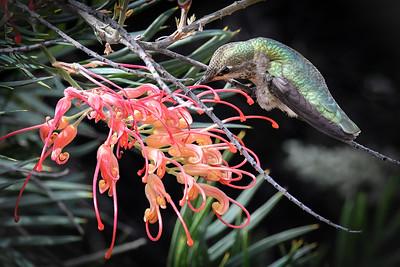 Anna's Hummingbird with Australian Flower