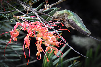Anna's Hummingbird with Australian Flower