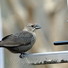 Female Brown-headed Cowbird at the Feeder