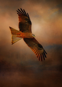 """Red Kite, Woodstock, North Queensland.""  5x7"
