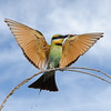 Rainbow Bee-eater Landing , Federation Walk, Gold Coast, Queensland.