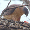 Mama Cooper's Hawk Enjoying Her Gift View 4