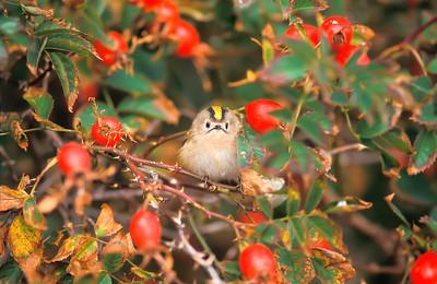 Goldcrest , Kungsfågel